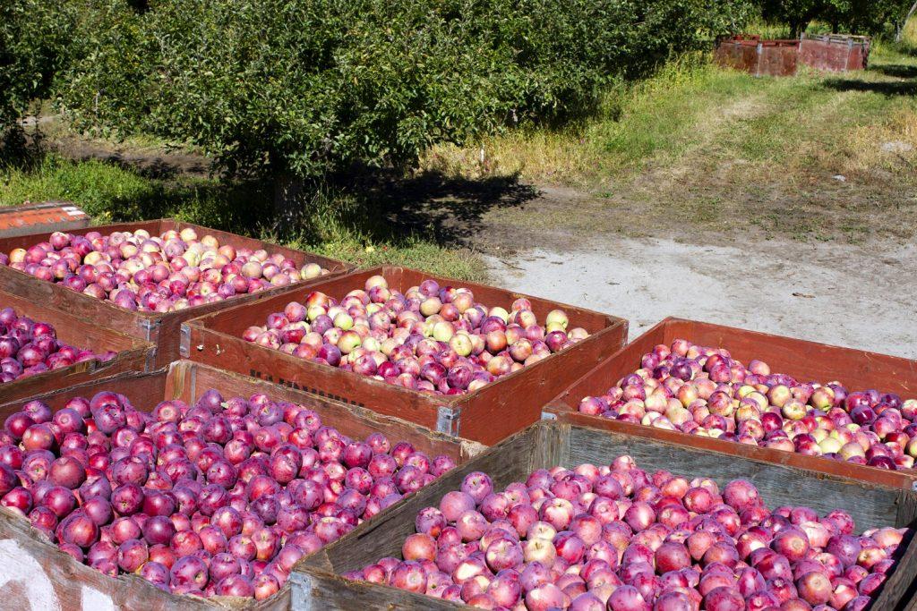 real estate in Kelowna Sean Skuter 6 apple bins full of red apples in orchard